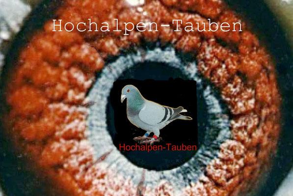Hochalpen - Tauben Überlebenskünstler im Kaukasus und direkte Nachkommen der Kaukasus - Tauben