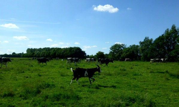 Der ein oder andere hat bestimmt schon unseren Ziegenbock Max in der Kuhherde entdeckt.