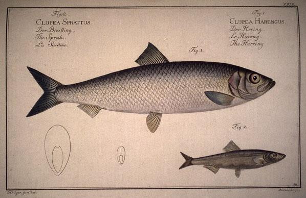 Comparaison du hareng (fig1) et de la sardine (fig2)