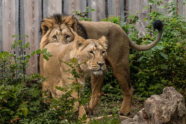 kleiner-tiger-schlaeft-tiere