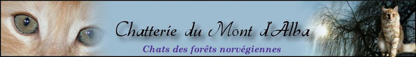 Bannière chatterie du mont d'alba, élevage de norvégiens, chats des forêts norvégiennes, tarn et garonne