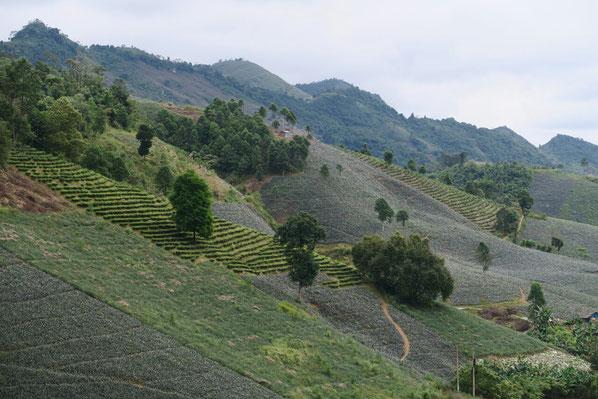 Les champs d'ananas recouvrent les flancs des montagnes