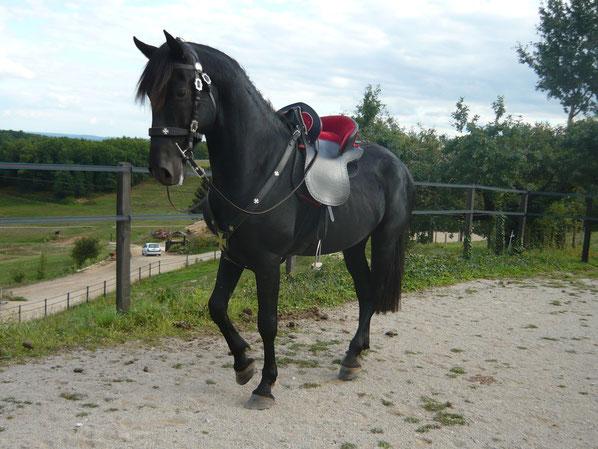 Elevage de chevaux de Pure Race Minorquine