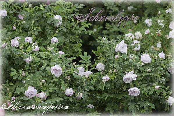 Rosiger Adventskalender im Hexenrosengarten - Rugosa-Hybride Schneekoppe