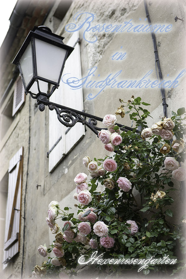 Rosenblog Hexenrosengarten Rosiger Adventskalender Rosenträume in Südfrankreich: Eden Rose 85 Syn. Pierre de Ronsard