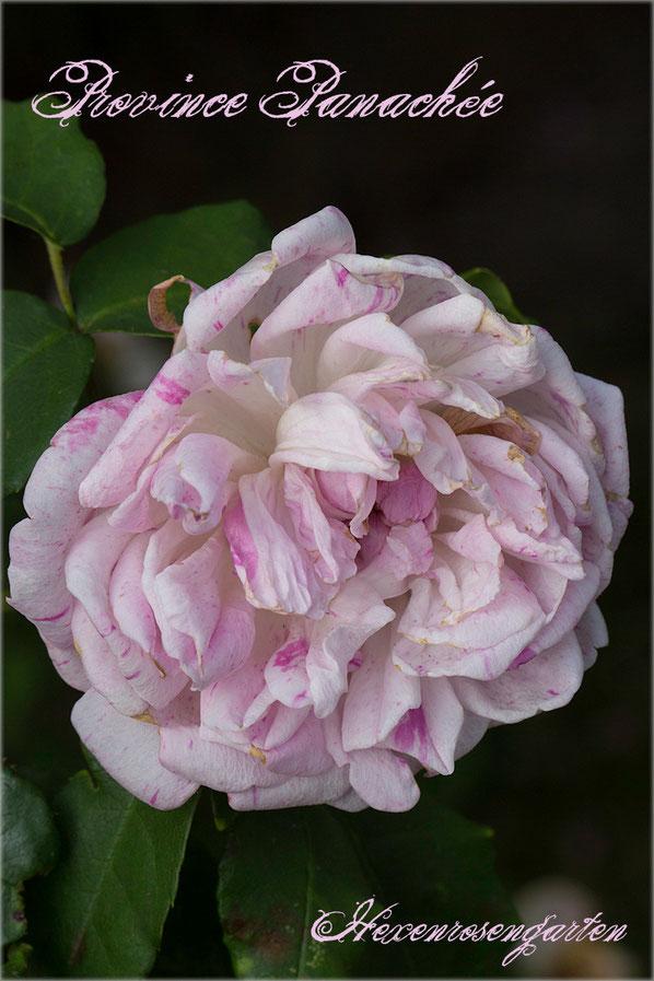 Rosen Rosenblog Hexenrosengarten Bourbonrose Ile de Bourbon Fontaine Province Panachee gestreift weiß lila Rosiger Adventskalender