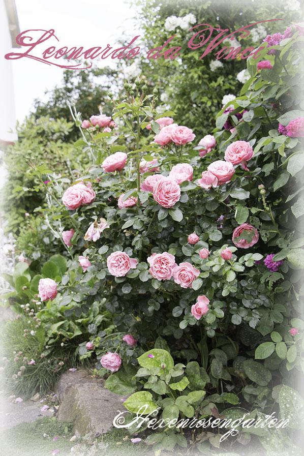 Rosiger Adventskalender im Hexenrosengarten - Rose Leonardo da Vinci - Floribundarose von Meilland