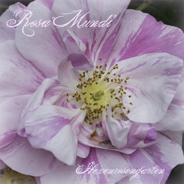 Rosen Rosenblog Hexenrosengarten Rosiger Adventskalender Gestreifte Rosen Malerrosen Rosa Mundi Rosa Gallica versicolor
