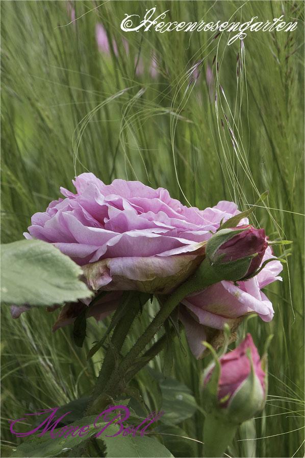 Rosenblog Hexenrosengarten Rosiger Adventskalender Portlandrose Mme Boll