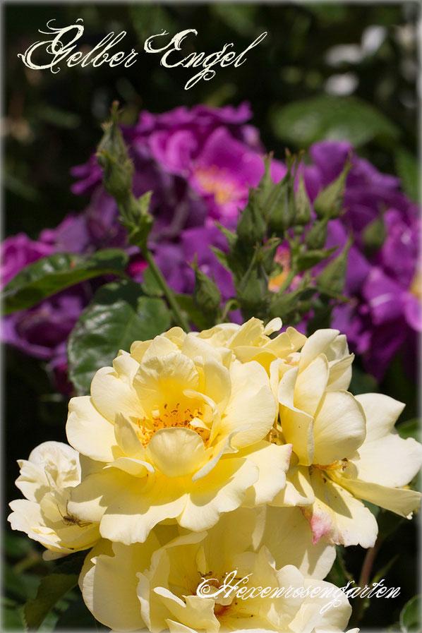 Rosen Rosenblog Hexenrosengarten Kordes Gelber Engel Beetrose Hagebutten Rosiger Adventskalender