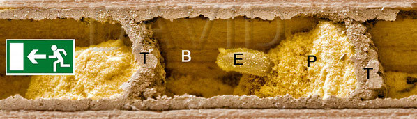 B = Brutzelle, T = Trennwand, P = Pollen, E = Ei