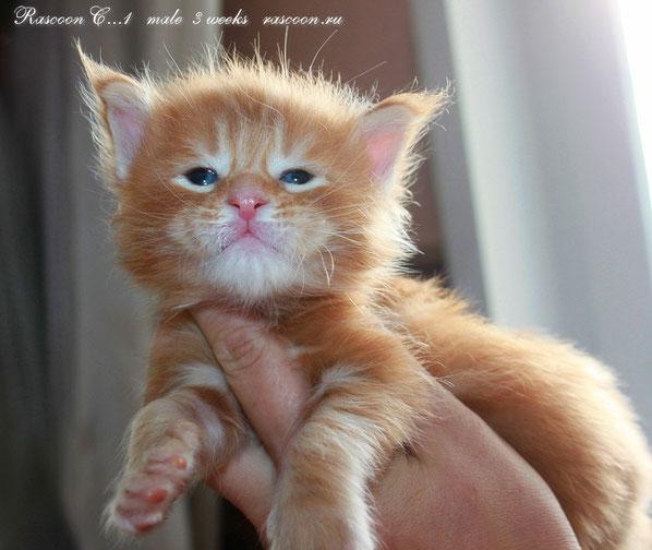 Rascoon C (red tabby) male -3 weeks