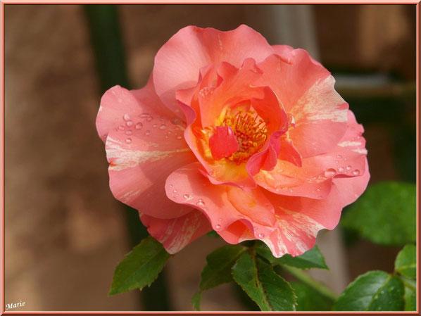 Rose saumonée après ondée à Saint Rémy de Provence, Alpilles (13) à Saint Rémy de Provence, Alpilles (13)