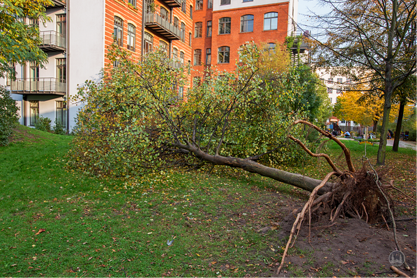 Umgestürzter Baum durch den Sturm.