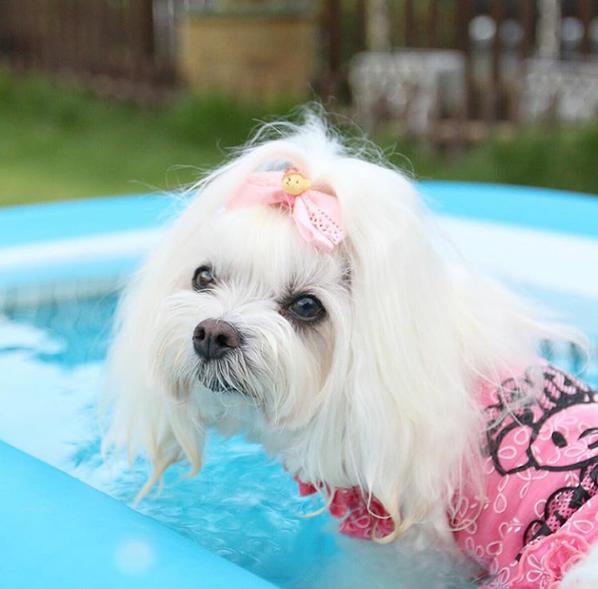 bichon maltes pelo blanco holy eyes blanqueador para perros natural sin antibiotico