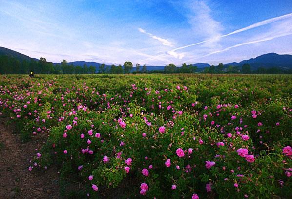 La vallée des roses en Bulgarie