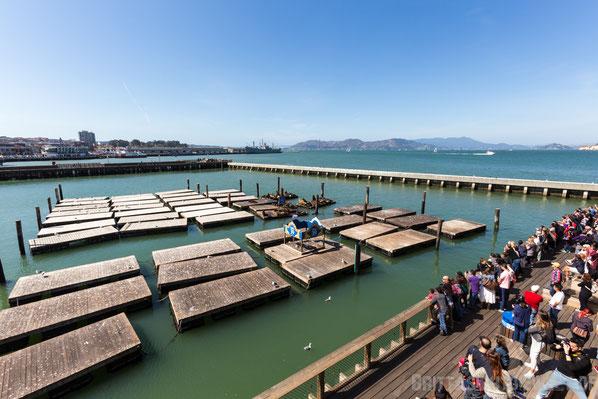 Pier 39,san,francisco,usa,seelöwen,rundreise,jucy,campervan,sehenswürdigkeit