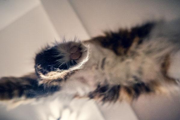 Katze auf einem Glastisch von unten fotografiert von Tobias Gawrisch (Xplor Creativity)