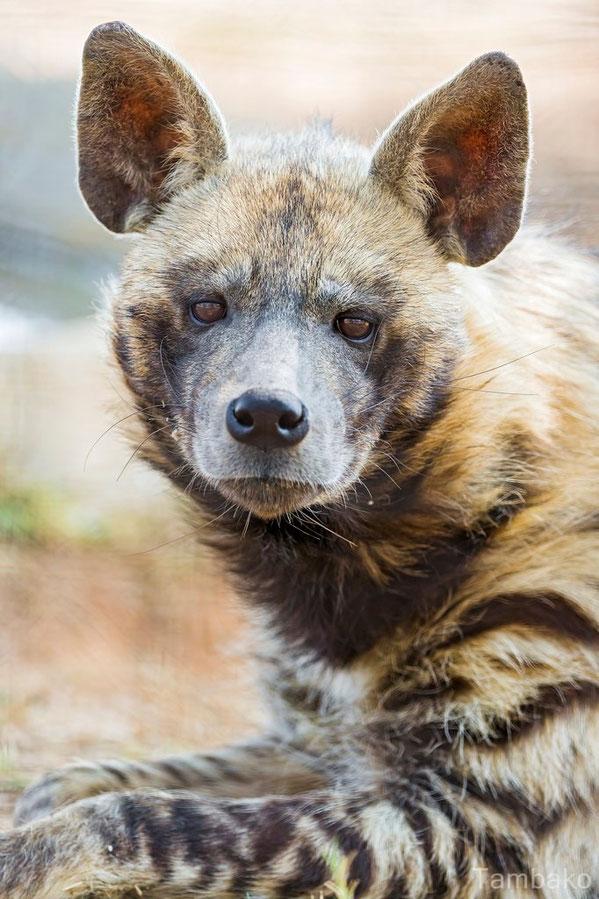 hyene rayee
