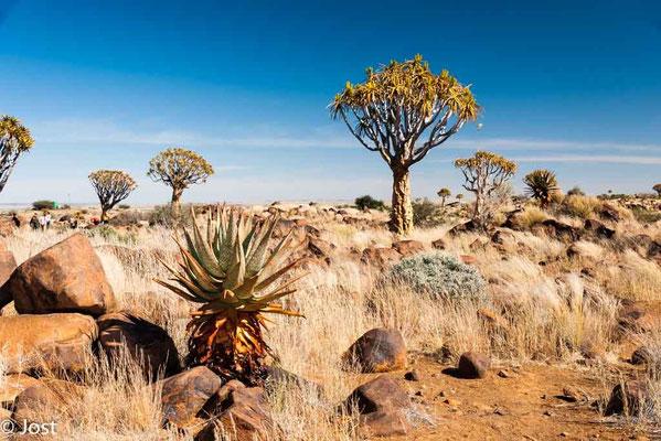 Namibia Köcherbaumwald  Nähe Mariental
