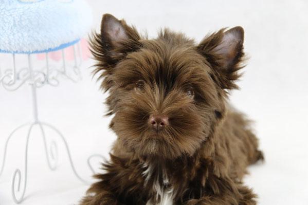 """unser Biewer Yorkshire Neuzugang Fabien stellt sich vor. Er ist ein Yorkshire Terrier in der Farbe """"dark schoko"""" und soll der Vater unser Biewer-Yorkshire-Würfe werden"""