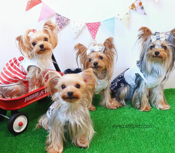 perros pequeños raza yorkshire terrier miniatura
