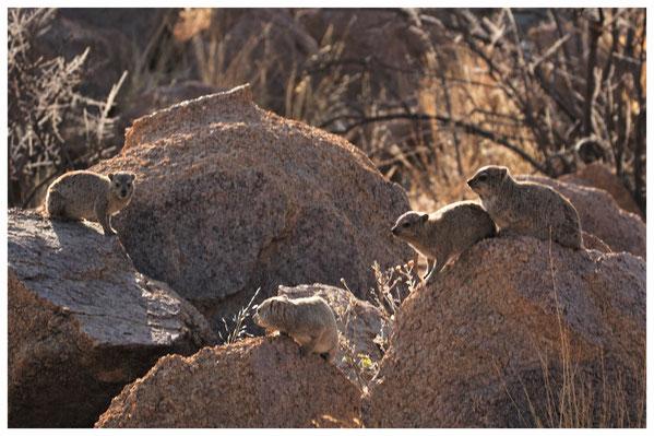 Daman des rochers de Namibie