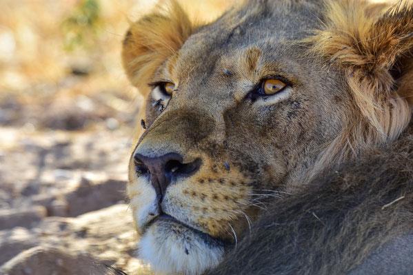 Der Kgalagadi Transfrontier Park ist bekannt für Katzenbegegnungen