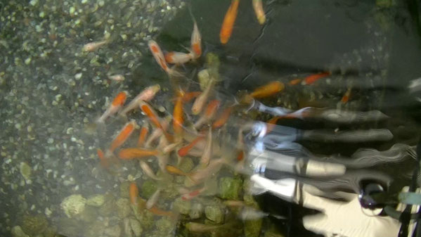 福岡ペットミッキンに大量のジャンボオランダ獅子頭の幼魚が仲間入りしました
