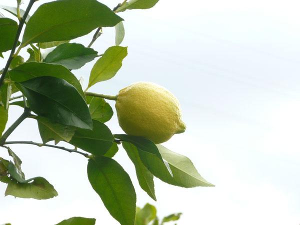 レモン 自然農法 カンズフルーツ えひめ