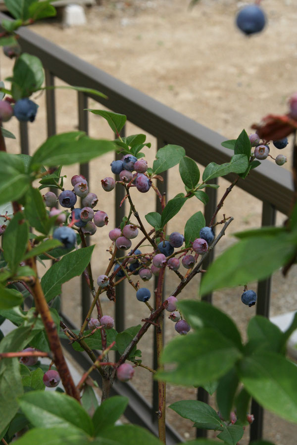 植栽も実のなるブルーベリー等実のなる植木を植えて、楽しめるガーデンにしています。