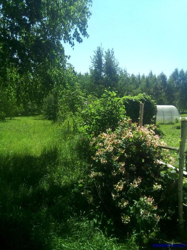 家園東北方的綠色活圍籬。在開花的金銀花後方,可以看見被啤酒花纏繞的戶外廁所。