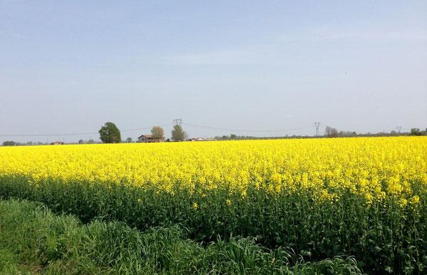 Campo di colza, in via Noce a Piumazzo. Colori d'aprile, come già lo scorso anno, attraversando la Provenza in bici.