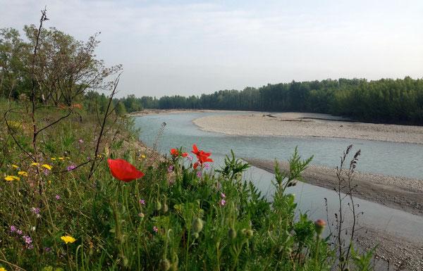 i primi papaveri lungo il fiume Panaro e le limpide acque di primavera