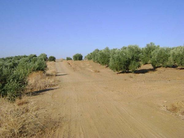 Sole, caldo, polvere ...  cielo immobile, radi e piccoli alberi di olivi e querce, solitudine e silenzio: questa è la Via de la Plata