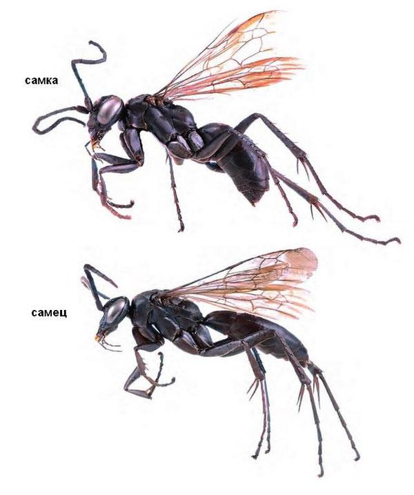 Локтионов В.М., Лелей А.С. Дорожные осы (Hymenoptera: Pompilidae) Дальнего Востока России. 2014