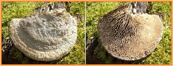 Normaler Eichenwirrling (Daedalea quercina) mit labyrinthischen, länglichen Poren