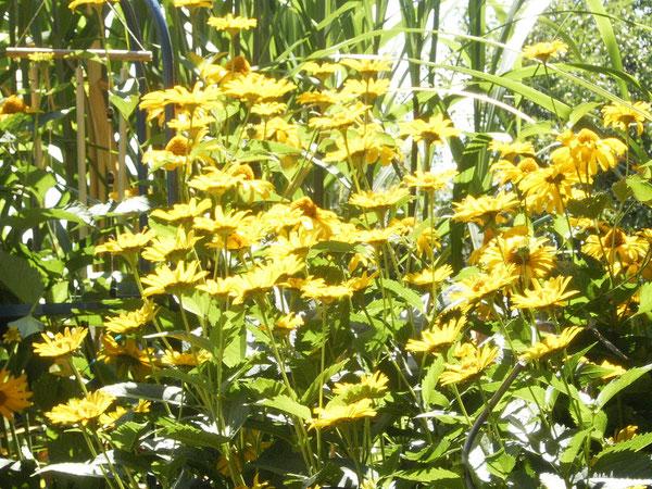 Sonnenhut (Rudbeckia) im Garten