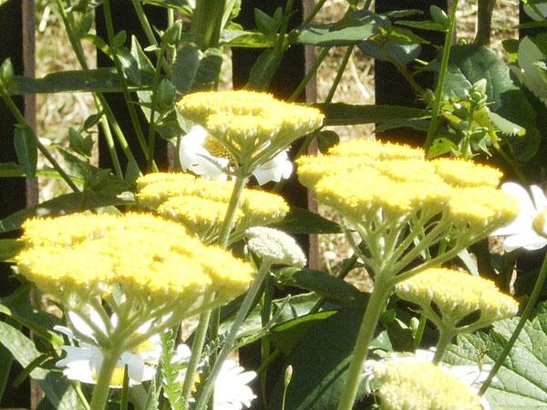 Schafgarbe (Millefolium) und Margeriten (Leucanthemum vulgare)