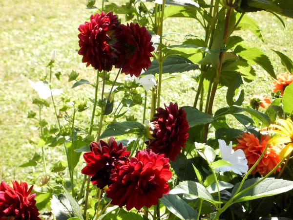 """Die Dahlien blühen unermüdlich....""""Die klassische Homöopathie kann auch SIE wieder zum Blühen bringen!"""""""