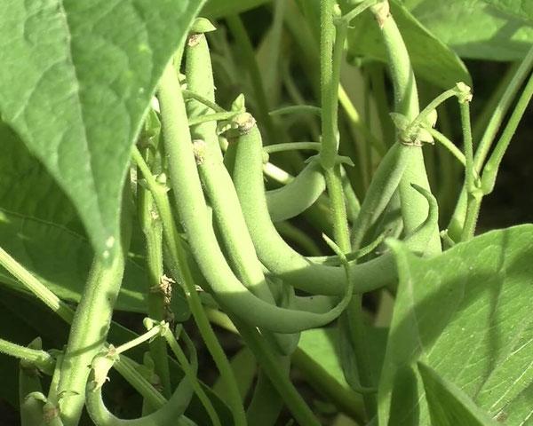 Buschbohnen (Phaseolus vulgaris): unbedingt in den Schneckenzaun gehören Bohnen. Egal ob  Busch- oder Stangenbohnen. Die jungen Austriebe sind bei Schnecken heiß begehrt. Gerne werden zudem die zarten Schoten der Buschbohnen angefressen.