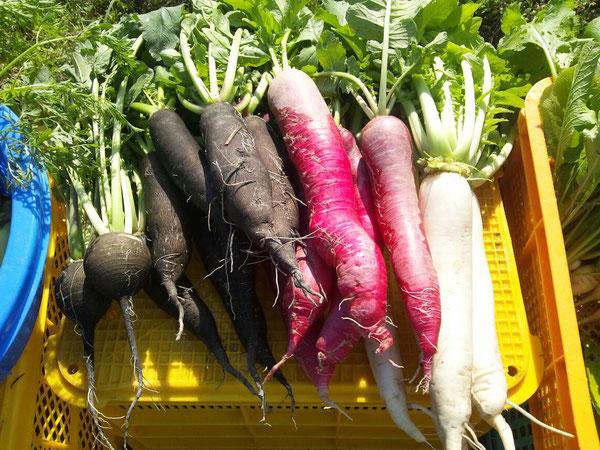 化学肥料や農薬を使わないむかしやさい