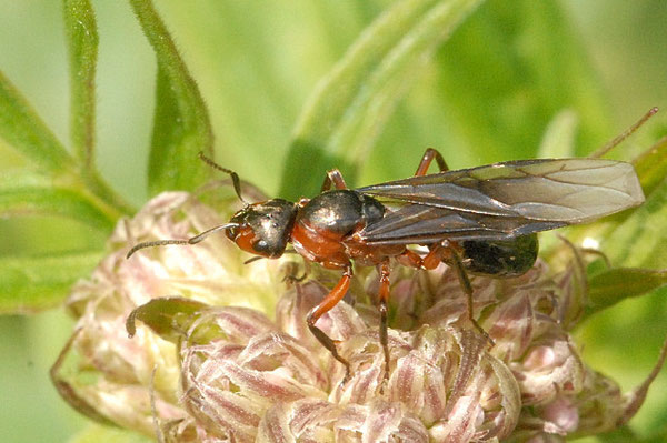 Female. Photo by James Lindsey at Ecology of Commanster. CC BY-NC 3.0