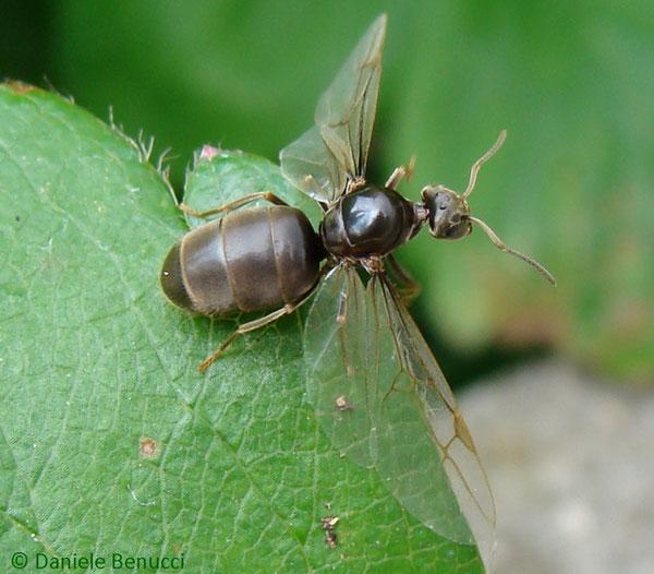 Female. Photo © Daniele Benucci (user Camponotus Vagus at Flickr). CC BY-NC-SA 2.0