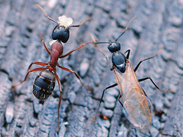 Worker & Male. Photo © Pentti Ketola 2007. www.insects.fi