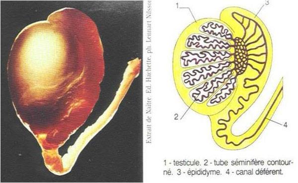 Coupe transversale d'un testicule et son schéma interprétatif.