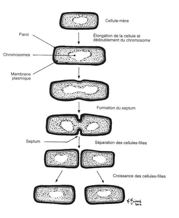 Schéma de la multiplication bactérienne. Source: http://lesbeauxjardins.com/cours/botanique/3-procaryotes/bacteries.htm