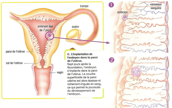 Etapes du développement embryonnaire vues depuis l'uérus.