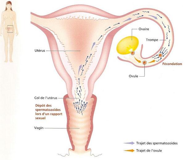 Trajet des spermatozoides depuis l'éjaculation de l'homme jusqu'à l'ovule.