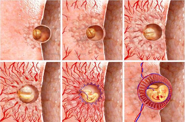 Implantation de l'embryon et mise en place des liens entre le futur bébé et la mère.